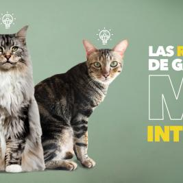 Las razas de gatos más inteligentes